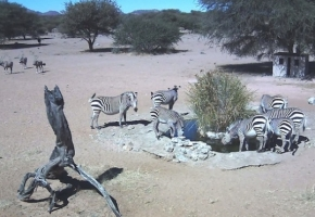 Zebras at Gat Dam Water Hole