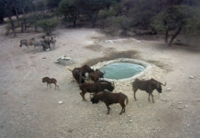 Black Wildebeest at Hondevang Water Hole