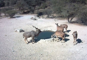 Kudus at Hondevang Water Hole